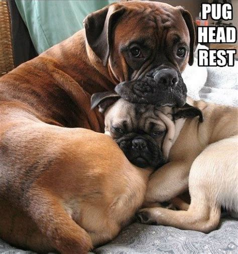 Boxer Dog Meme - funny pug dog meme pun lol boxer love pinterest pug funny pugs and boxers