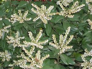 Weiß Blühende Sträucher : foto japanese pieris andromeda maigl ckchen strauch ~ Michelbontemps.com Haus und Dekorationen
