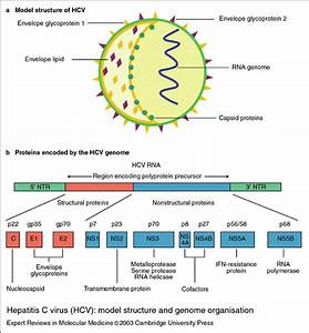 4  Hepatitis C Virus  Hcv   Model Structure And Genome Organization