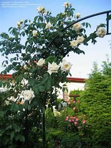 Ilse Krohn Superior : plantfiles pictures hybrid kordesii shrub rose 39 ilse krohn superior 39 rosa by microworld ~ Eleganceandgraceweddings.com Haus und Dekorationen