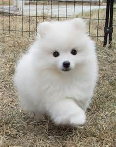 25 best ideas about american eskimo puppy on american eskimo baby dogs