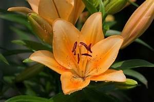 Lilie Symbolische Bedeutung : lilien bedeutung blumenversand edelwei ~ Frokenaadalensverden.com Haus und Dekorationen