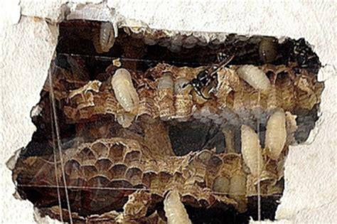 wespennest im rolladenkasten wespen fressen sich durch die wand