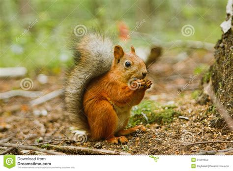 squirrel eating food on the ground royalty free stock