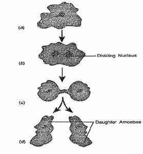 Segnali Binary Fission In Amoeba