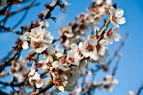 fiore di mandorlo la festa mandorlo in fiore mandorlo in fiore sagra