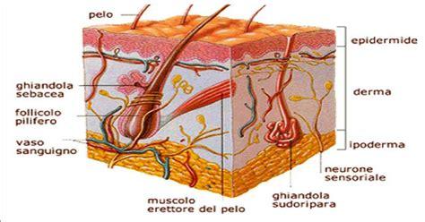 dispense anatomia umana appunti su pelle o