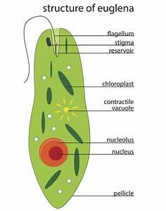 Tha Diagram Of Euglena
