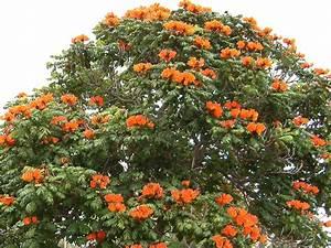 FileMadeira Funchal Afrikanischer Tulpenbaum Im Mai 2007