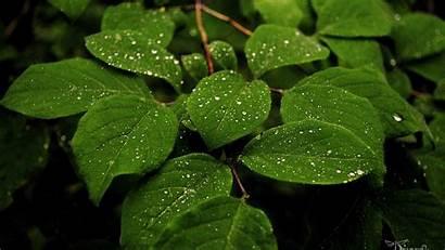 Leaves Plant Wallpapers Rain Desktop Pc Drops