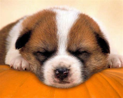 Domestic Animals Wallpaper - sleepy pup domestic animals wallpaper 2973993 fanpop