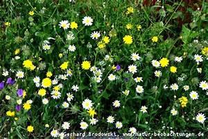 Blumenarten Az Mit Bild : blumen bestimmen wiesen und wildblumen steckbriefe bilder mit namen natur beobachtungen ~ Whattoseeinmadrid.com Haus und Dekorationen