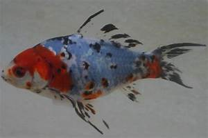 Graskarpfen Im Gartenteich : goldfische im teich awesome failed to load image with goldfische im teich kategorie goldfische ~ Frokenaadalensverden.com Haus und Dekorationen