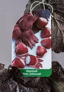Rote Haselnuss Kaufen : rotbl ttrige zellernuss corylus avellana rotbl ttrige zellernuss g nstig online kaufen ~ Michelbontemps.com Haus und Dekorationen