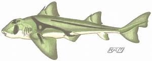 Shark Ecomorphotypes