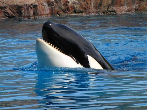 Killer Whales Learn To Speak Dolphin