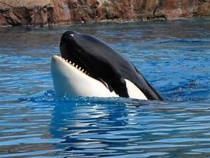 Killer Whales Learn To Speak Dolphin