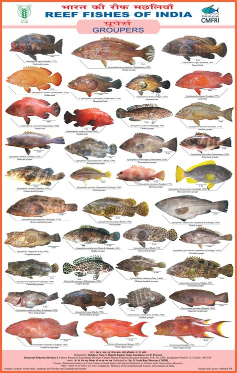 india grouper fishes groupers poster cmfri reef preview