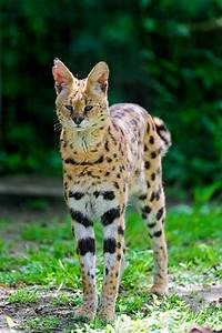 10 Legal Small Exotic Cats That Are Kept As Pets | PetHelpful