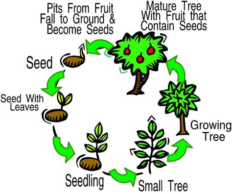 13 Best Plants Stages Of Growth Images On Pinterest  Activities, Growing Plants And Life Cycles