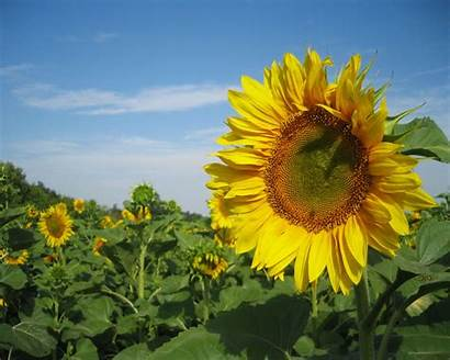 Nature Sunflowers Wallpapers Sun Flowers Spring Normal