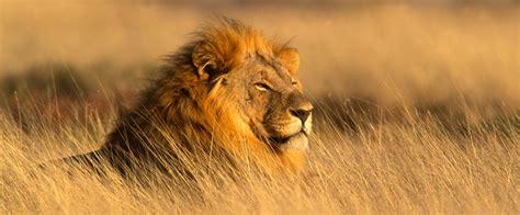 safari african lion africa star river zambezi queen unique tour zicasso tours header