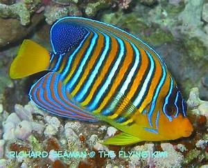 Angelfish Facts And Pictures