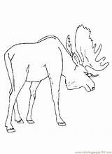 Moose Coloring Pages Animal Printable Preschool Drawing Deer Track Template Realistic Cartoon Coloringpages101 Fresh Sheets Colouring Animals Head Alaska Sketch sketch template