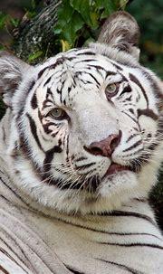 animals image by bianca   Cincinnati zoo, Tiger facts ...