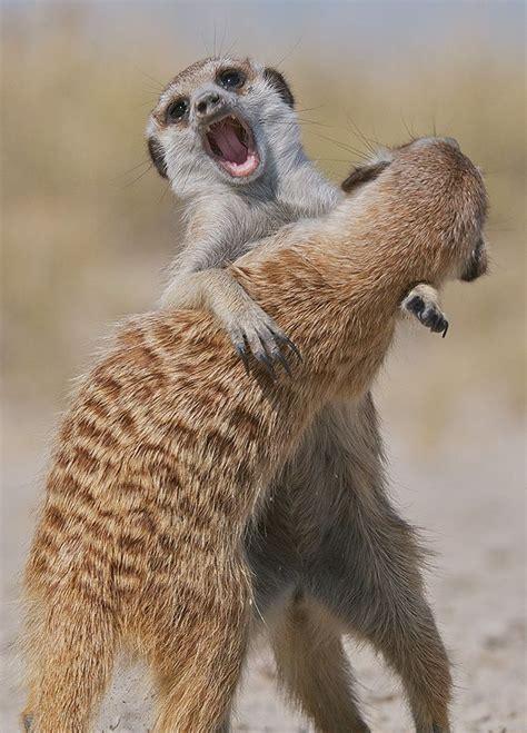 Fighting meerkats.. Photo by Sean Crane | Erdmännchen ...
