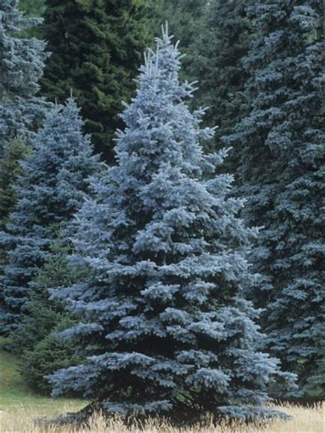 blue spruce colorado blue spruce picea pungens colorado state tree usa photographic print by ned