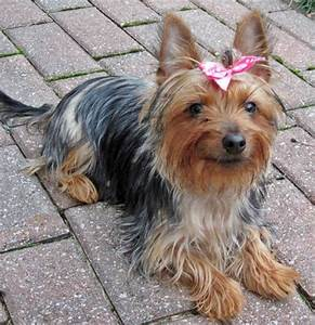Bella the Silky/Yorkie Terrier mix.   Small Things ...