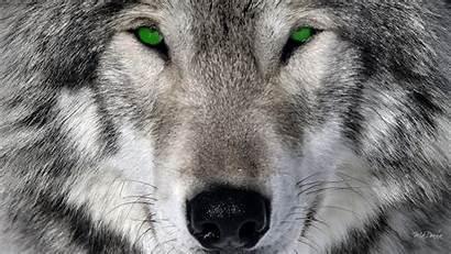 Wolf Sfondi Desktop Cool Wallpapers Lupi Cani