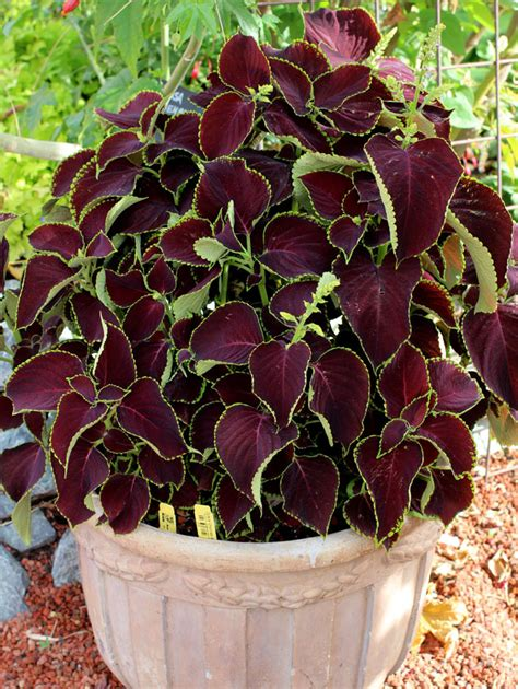 coleus chocolate mint buy at s annuals