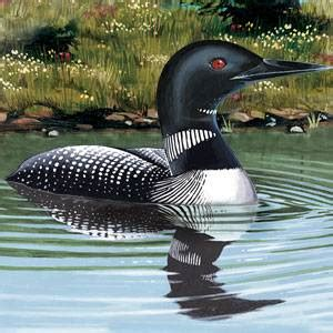 common loon facts information   american expedition
