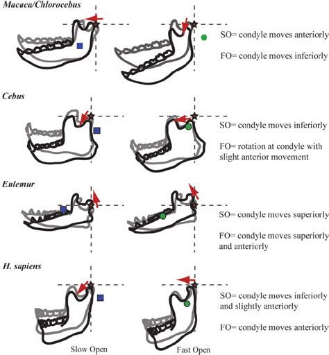 Tooth Movement Diagram by Simulated Mandibular Movements During Jaw Opening For The