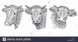 Cow, calf, bull cute muzzle face in three different set ...