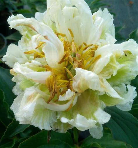 Peonija pienziedu Green Halo /Paeonia lactiflora/ - Peonijas - Katalogs - stadi-sakstagals.lv