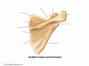 Right Scapula Related Keywords - Right Scapula Long Tail ...