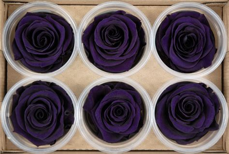 preserved roses  purple  roses