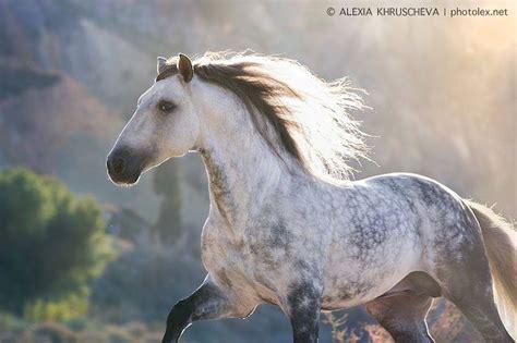 horse andalusian horses grey most stallion ii dapple alexia equestrian bitten flea gray personality dream