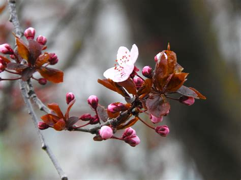 Free Images : spring flowers buds branch flora twig