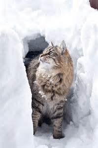 Snow in Siberian Forest Cat