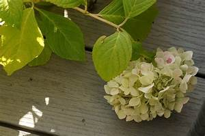 Hydrangea Paniculata Schneiden : hortensie pflege related keywords suggestions for ~ Lizthompson.info Haus und Dekorationen