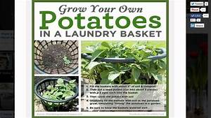 How to Grow Potatoes in a One Dollar Laundry Basket - YouTube