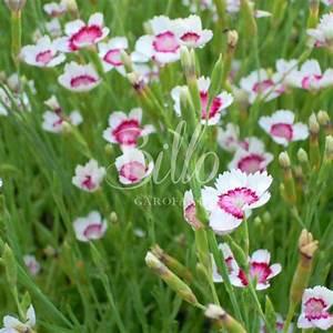 Dianthus DELTOIDES ARCTIC FIRE   Floricoltura Billo