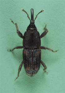Rice Weevil  Sitophilus Oryzae
