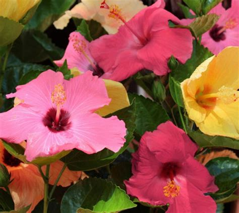 cottage farms hibiscus cottage farms tropical 4 n 1 braided hibiscus tree page 1 qvc