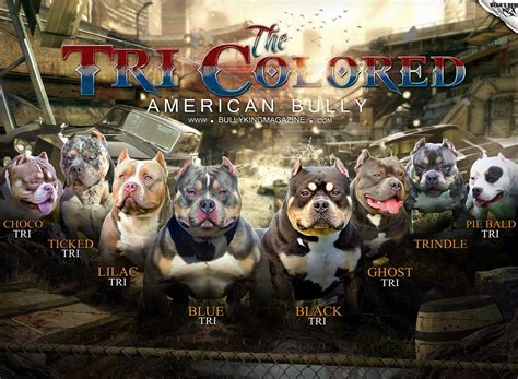 tri color american bully american bully colors the tri color variations bully
