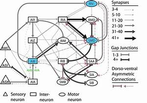 9  C  Elegans Navigation Neural Network  The Sensory
